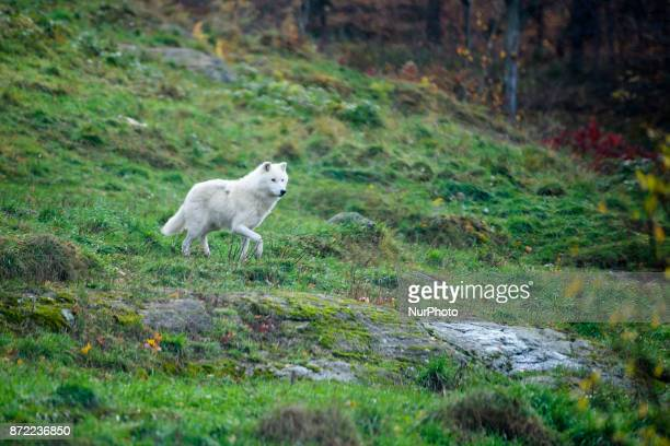 Wolf in Parc Omega Quebec Canada on 1st November 2017 Parc Omega is a safari park in NotreDamedeBonsecours Quebec Canada Along a 12kilometre nature...