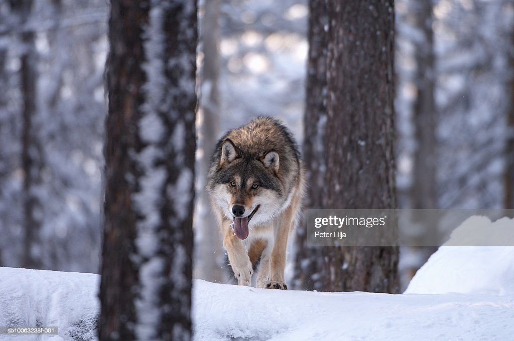 Wolf (Canis lupus) in pine forest : Stock Photo