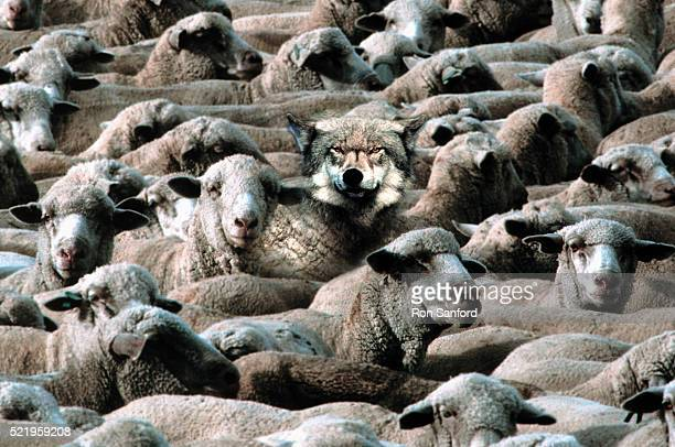 wolf in sheep's clothing - herbivorous stock pictures, royalty-free photos & images