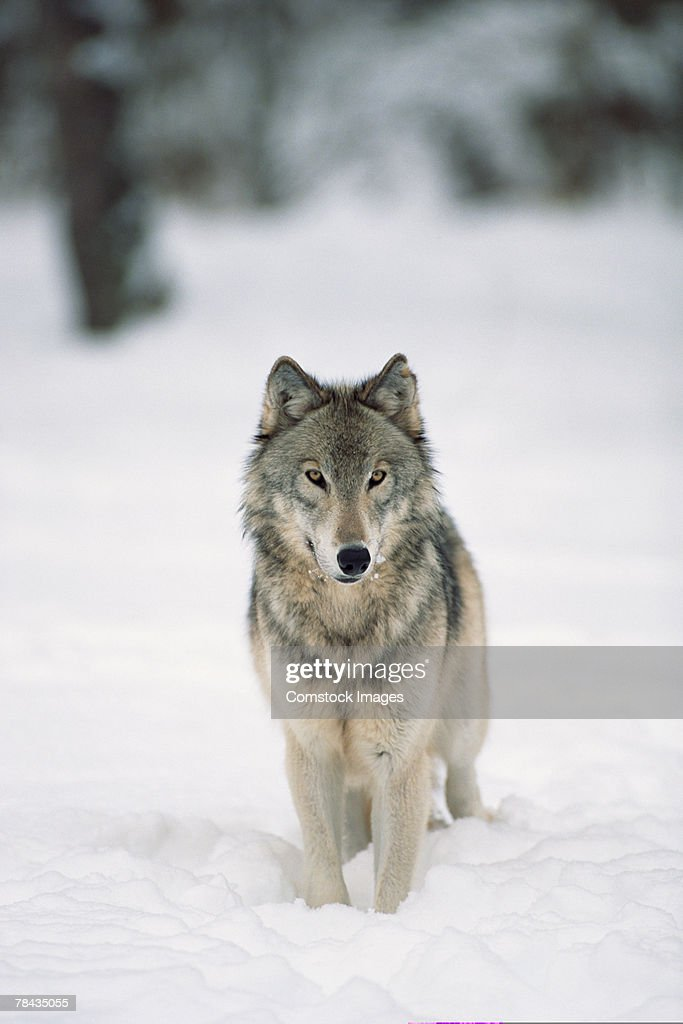 Wolf in snow , Canada : Stockfoto