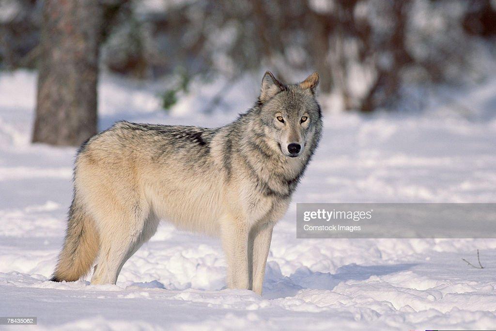 Wolf in snow , Canada : Stockfoto
