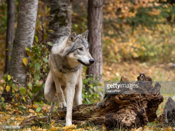 wolf in trees intense look in natural autumn setting captive - wild dog stock pictures, royalty-free photos & images