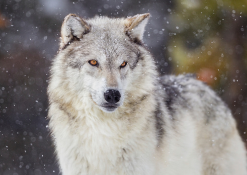 Wolf in Winter Snow 171585588