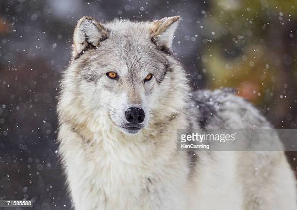 Wolf in Winter Snow