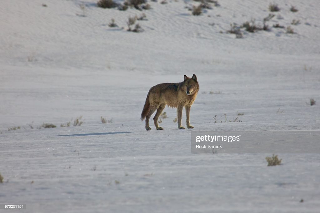 Wolf in Yellowstone National Park, Wyoming, USA : Stock Photo