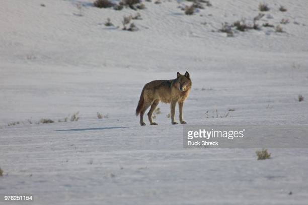 wolf in yellowstone national park, wyoming, usa - north america stock pictures, royalty-free photos & images