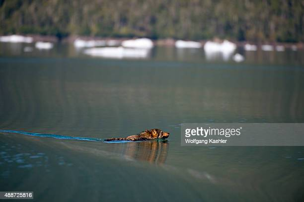 A wolf is swimming across LeConte Bay which was named in honor of the Californian biologist Joseph LeConte in Tongass National Forest Southeast...