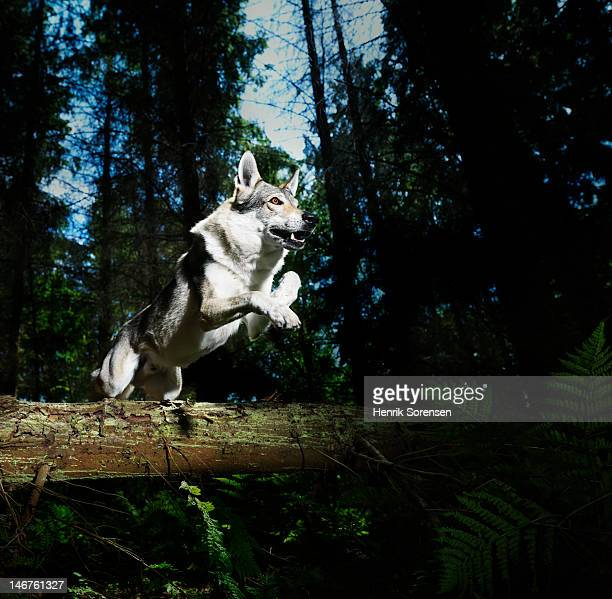 wolf jumping in the forest