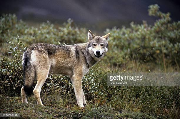 Wolf looking at camera, Denali National Park, Alaska, USA