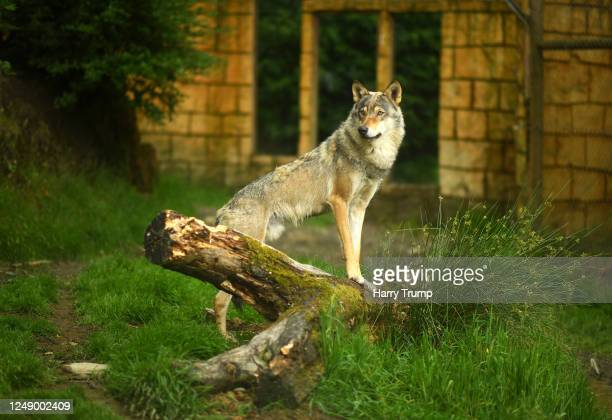 Wolf looks on from their enclosure as they wait for their food as Preparations are made at Exmoor Zoo ahead of the Relaxing of Covid-19 Restrictions...