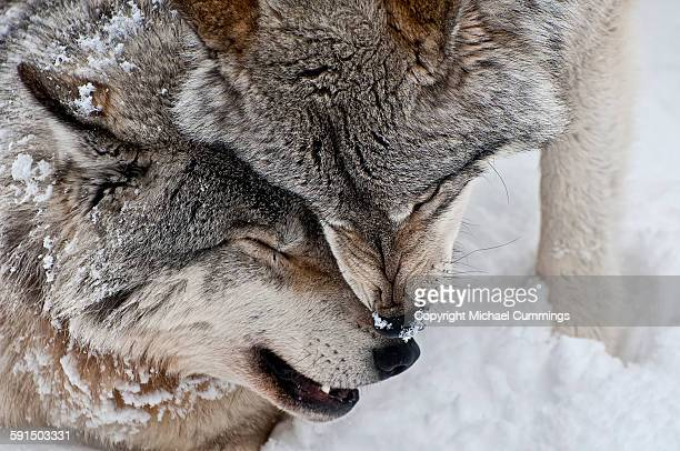wolf love - michael wolf stock photos and pictures