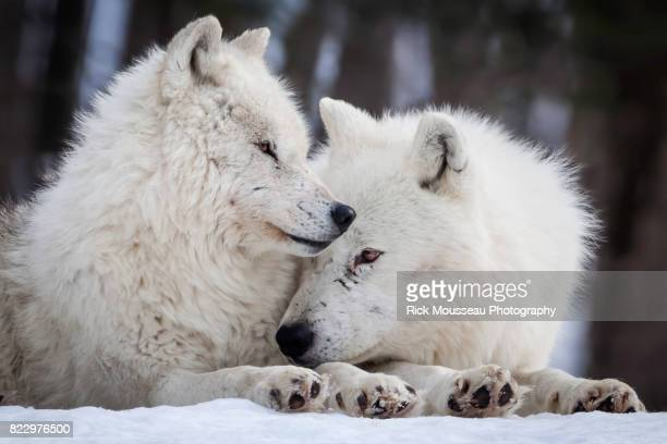 wolf love - arctic wolf stock photos and pictures