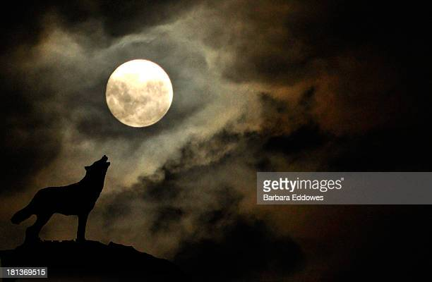 wolf moon - wolf moon stock photos and pictures