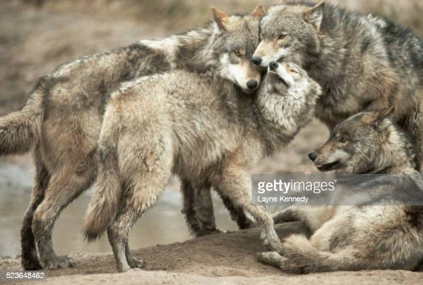 wolf pack affections - minnesota stock pictures, royalty-free photos & images