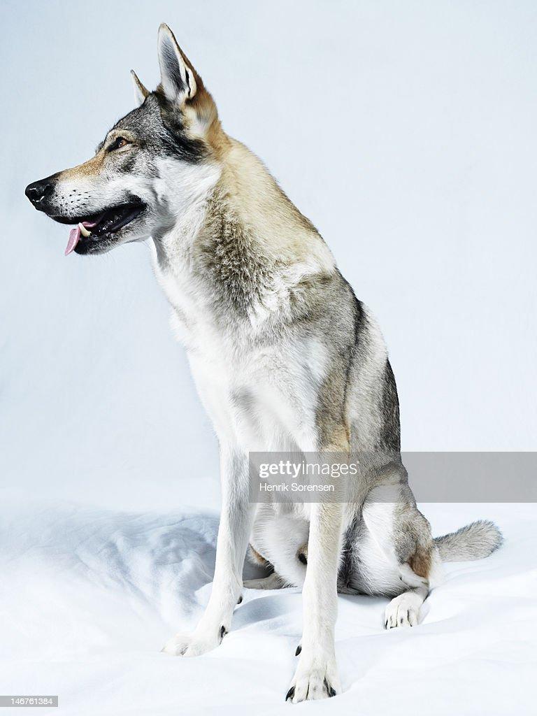 wolf : Stock Photo