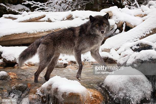 wolf - black wolf stock pictures, royalty-free photos & images