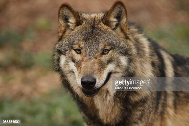 wolf - wolf stock pictures, royalty-free photos & images
