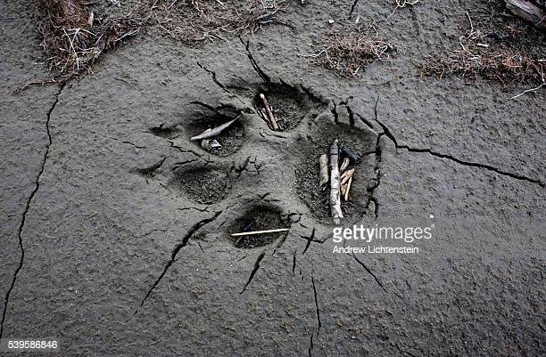 A wolf print lies in the mud along the Kokalik River's bank The Kokalik river in extreme north western Alaska winds its way through the National...