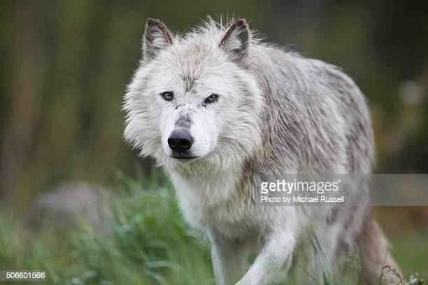 wolf prowling - michael wolf stock photos and pictures