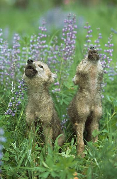 Wolf Puppies Howling In Meadow