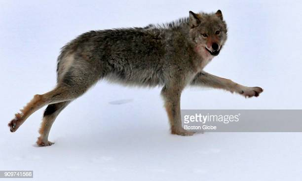 A wolf runs over the frozen Bersimis reservoir in Baie Comeau in Québec on Jan 20 2018
