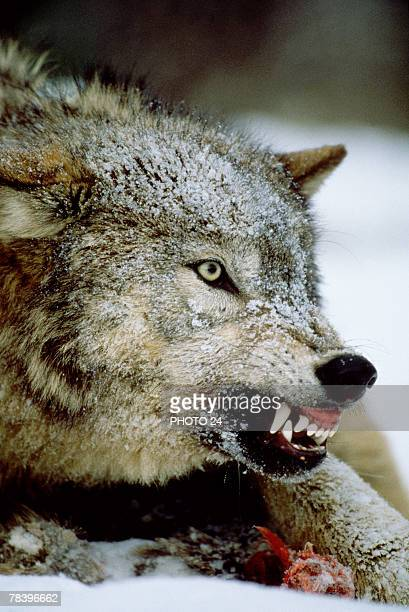 Wolf showing teeth