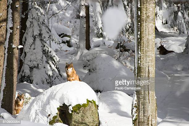 Wolf sitting on rock