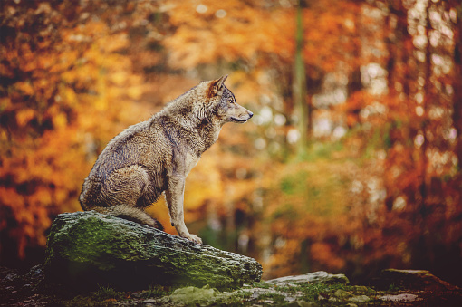 Wolf Sitting on the Stone in Autumn Forest. 905884126