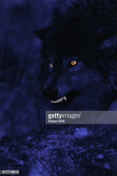 wolf snarling at night - animal eye stock pictures, royalty-free photos & images