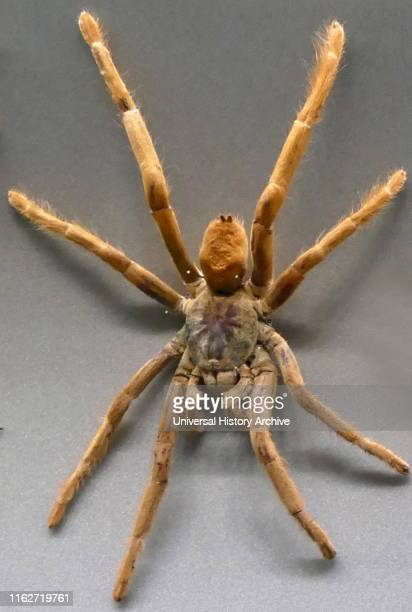 Wolf spider a member of the family Lycosidae A robust and agile hunter with excellent eyesight They live mostly in solitude and hunt alone and do not...