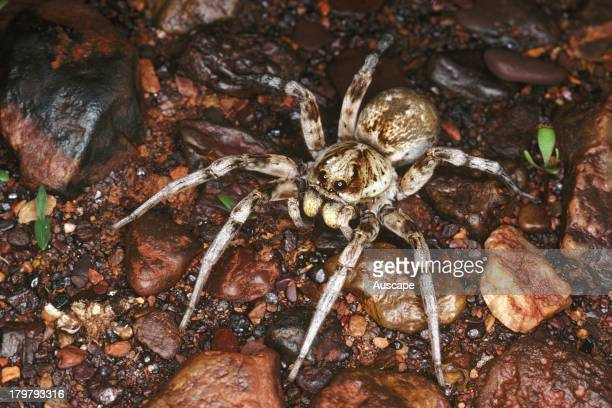 Wolf spider family Lycosidae East of Wyloo Homestead Western Australia