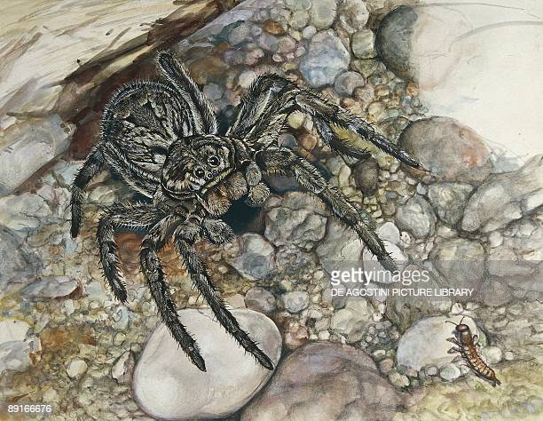 Wolf spider hunting illustration