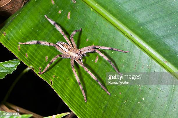 Wolf Spider (Lycosidae) in rainforest, Costa Rica, Central America