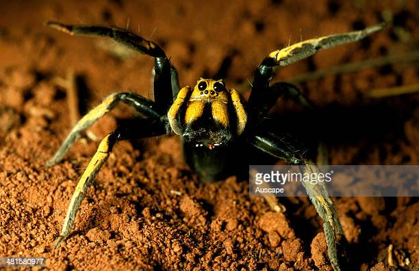 A wolf spider Lycosa storrii showing two large median eyes in daylight New South Wales Australia