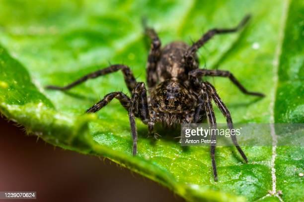 wolf spider (pardosa amentata) on a green leaf of grass - 待ち伏せ ストックフォトと画像