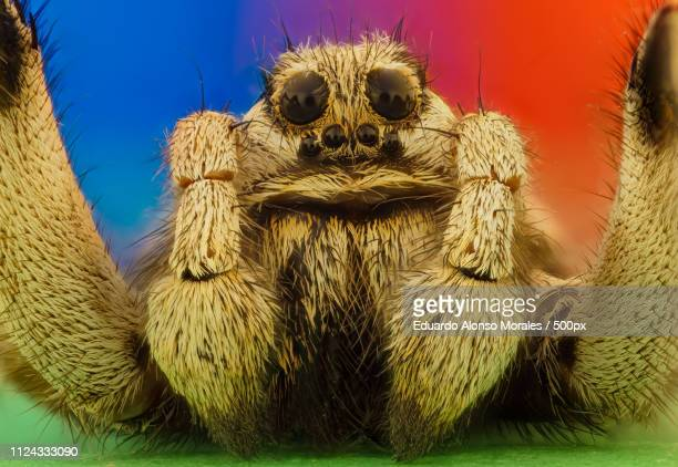 wolf spider - pedipalp stock photos and pictures