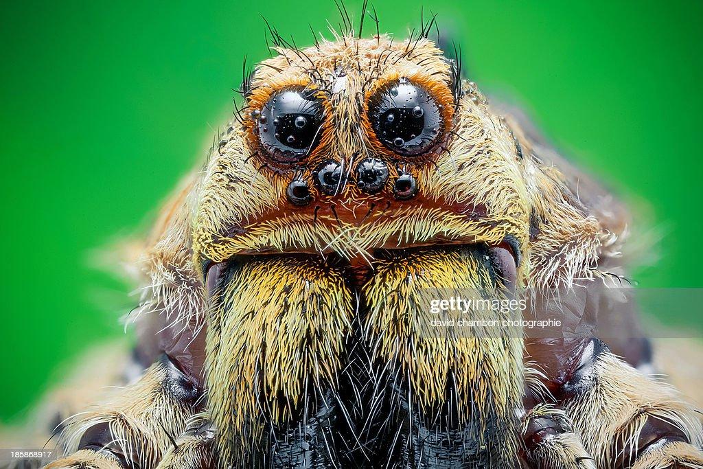 Wolf spider : Stock Photo