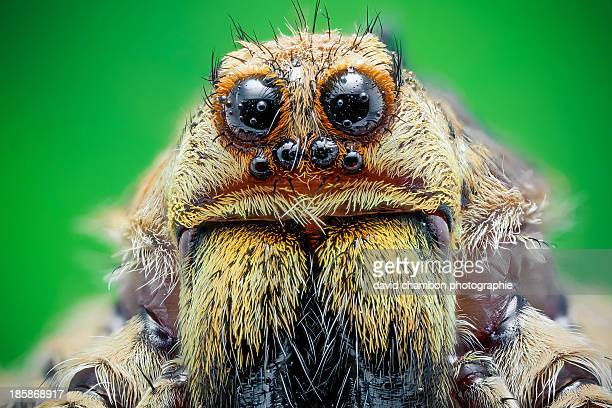 wolf spider - aranha imagens e fotografias de stock