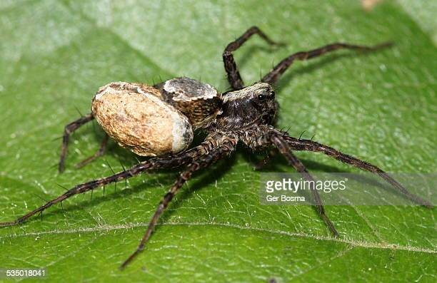 wolf spider with egg sac - sac stock pictures, royalty-free photos & images