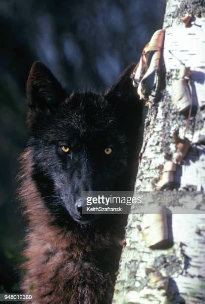 wolf stae - black wolf stock pictures, royalty-free photos & images