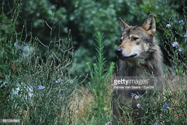 Wolf Standing By Plants On Field