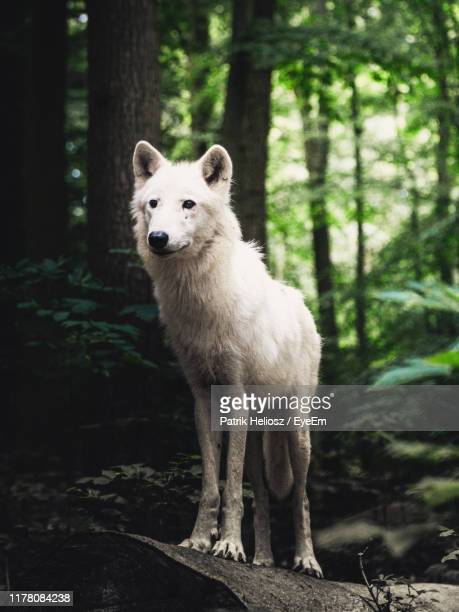 wolf standing in forest - loup blanc photos et images de collection