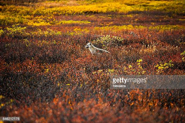 Wolf standing in meadow, Denali National Park, Alaska, America, USA