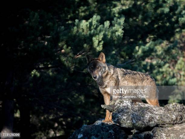 wolf standing on rock in forest - einzelnes tier stock-fotos und bilder