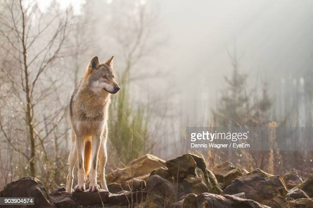 wolf standing on rocks in forest - lupo foto e immagini stock