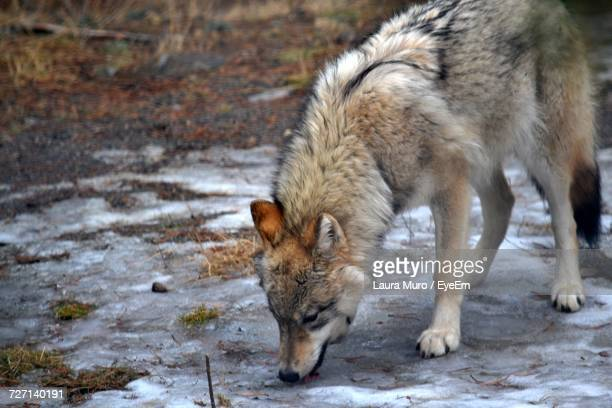 Wolf Standing On Snow Field