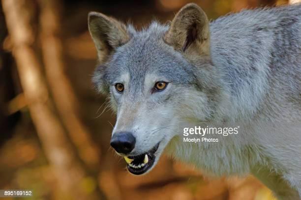 Wolf staring`