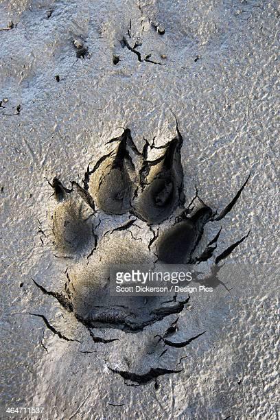 Wolf Tracks In The Brooks Range Gates Of The Arctic National Park Northwestern Alaska