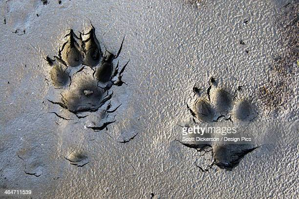 Wolf Tracks In The Brooks Range Gates Of The Arctic National Park Northwestern Alaska