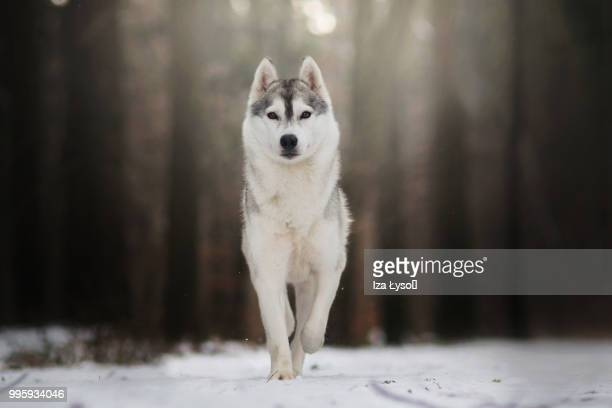 a wolf walks through a snowy forest - wolf stock pictures, royalty-free photos & images